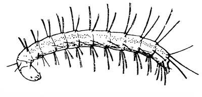 Личинка блохи