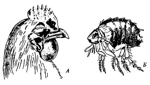 Блоха домашней птицы Echidnophaga gallinacea