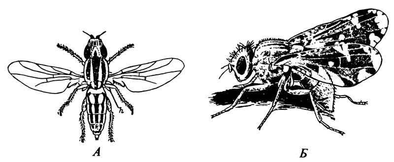 Типичные мухи