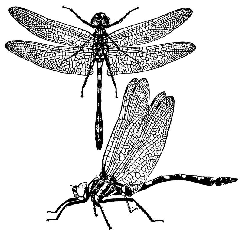 Разнокрылая стрекоза Macromia magnifica