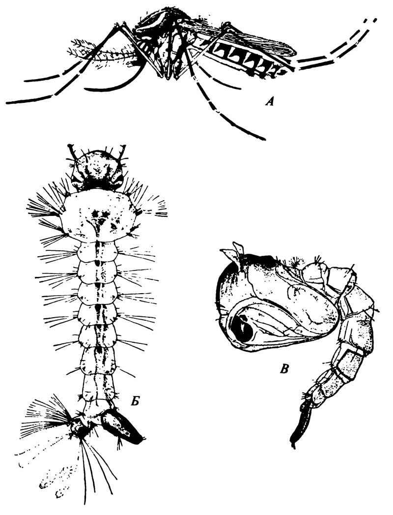 Жёлтый малярийный комар Aedes aegypti