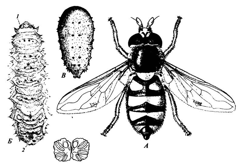 Муха-журчалка Didea fasciata