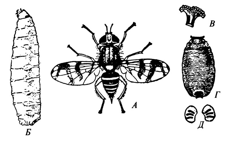 Вишнёвая муха Rhagoletis cingulata