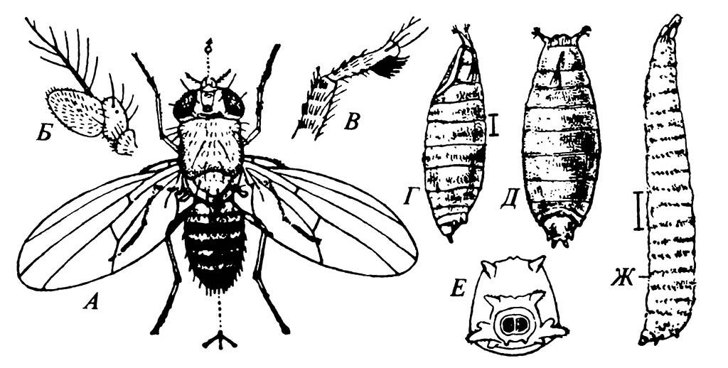 Плодовая мушка Drosophila melanogaster