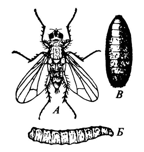 Стадии жизненного цикла луковой мухи Hylemya antiqua