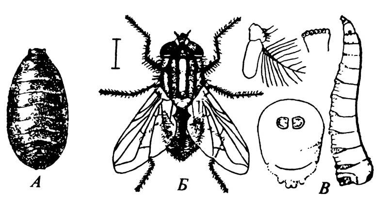 Стадии развития комнатной мухи Musca domestica