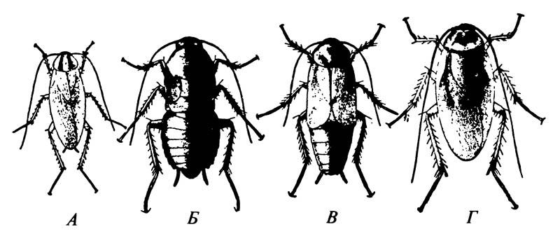 Обычные космополитические тараканы
