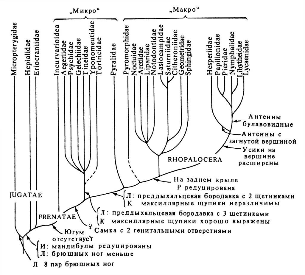 Упрощённое филогенетическое древо отряда Lepidoptera