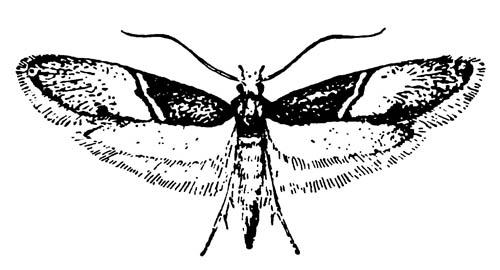 Ковровая моль Trichophaga tapetzella — один из видов Microlepidoptera