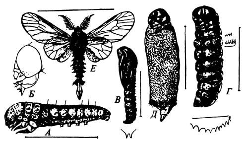 Стадии жизненного цикла чехлоноски Thyridopteryx ephemeraeformis