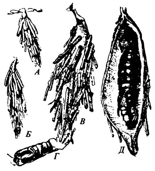 Развитие гусеницы чехлоноски