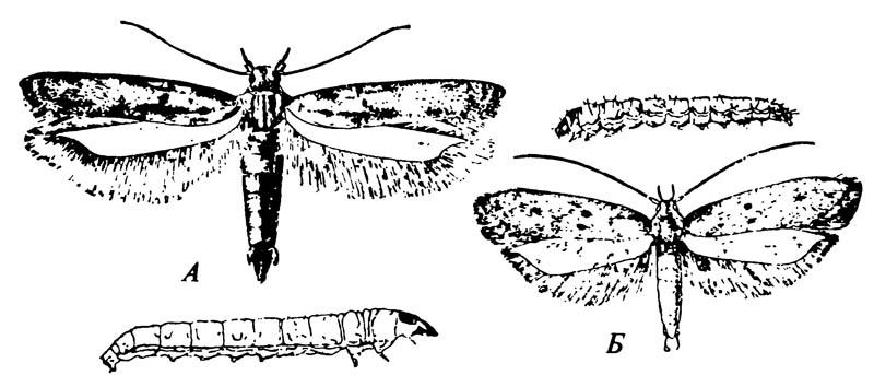 Представители семейства Gelechiidae