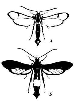 Стеклянница персиковая Sanninoidea exitiosa