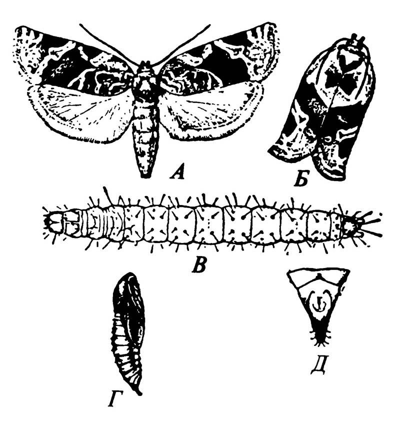 Листовёртка Argyrotaenia velutinana