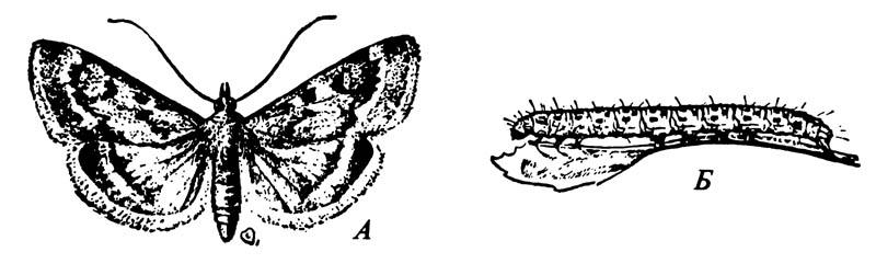 Мотылёк садовый Loxostege rantalis