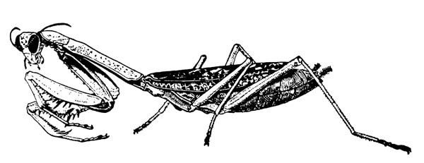 Богомол Stagmomantis Carolina