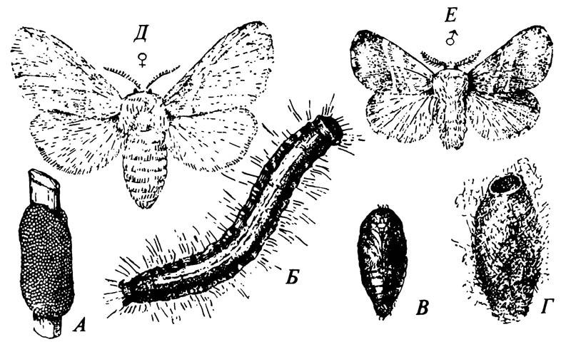 Стадии жизненного цикла кольчатого коконопряда Malacosoma americanum