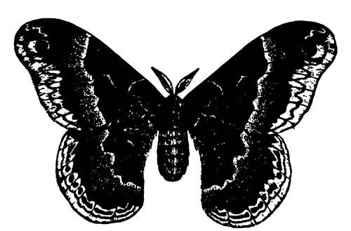 Сатурния Прометея Callosamia promethea