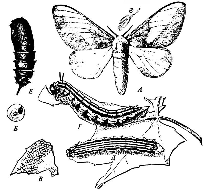 Вредитель клёна Anisota rubicunda