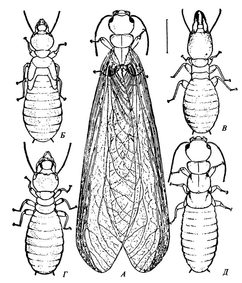 Касты в колонии термитов (отряд Isoptera)