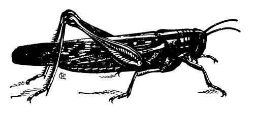 Американская саранча Schistocerca americana americana