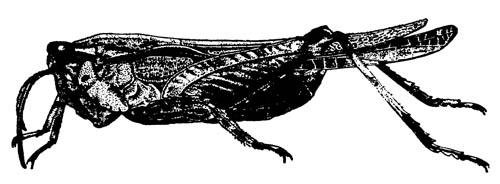 Прыгунчик Acridium ornatum