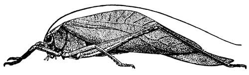 Кустарниковый кузнечик Microcentrum rhombifolium