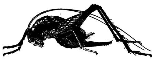 Пещерный лжекузнечик Ceuthophylus maculatus