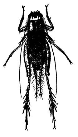 Полевой сверчок (сверкун) Nemobius fasciatus