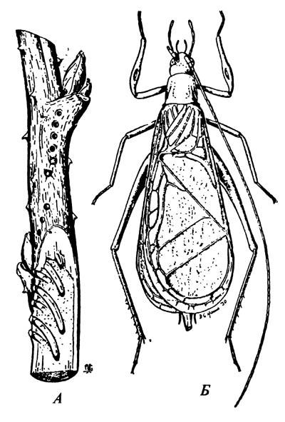 Стеблевой сверчок (белоснежный сверчок-трубачик) Oecanthus niveus