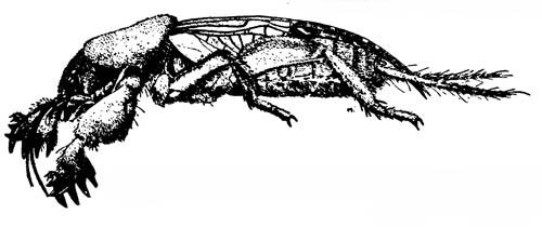 Медведка Gryllotalpa hexadactyla