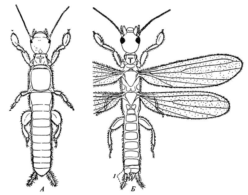 Эмбия Oligotoma saundersii