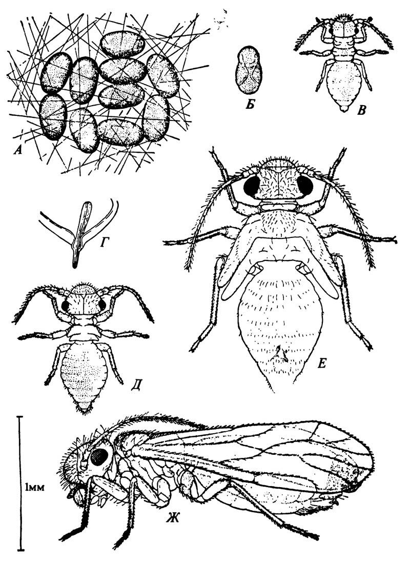 Крылатый сеноед Ectopsocus pumilis и стадии его жизненного цикла