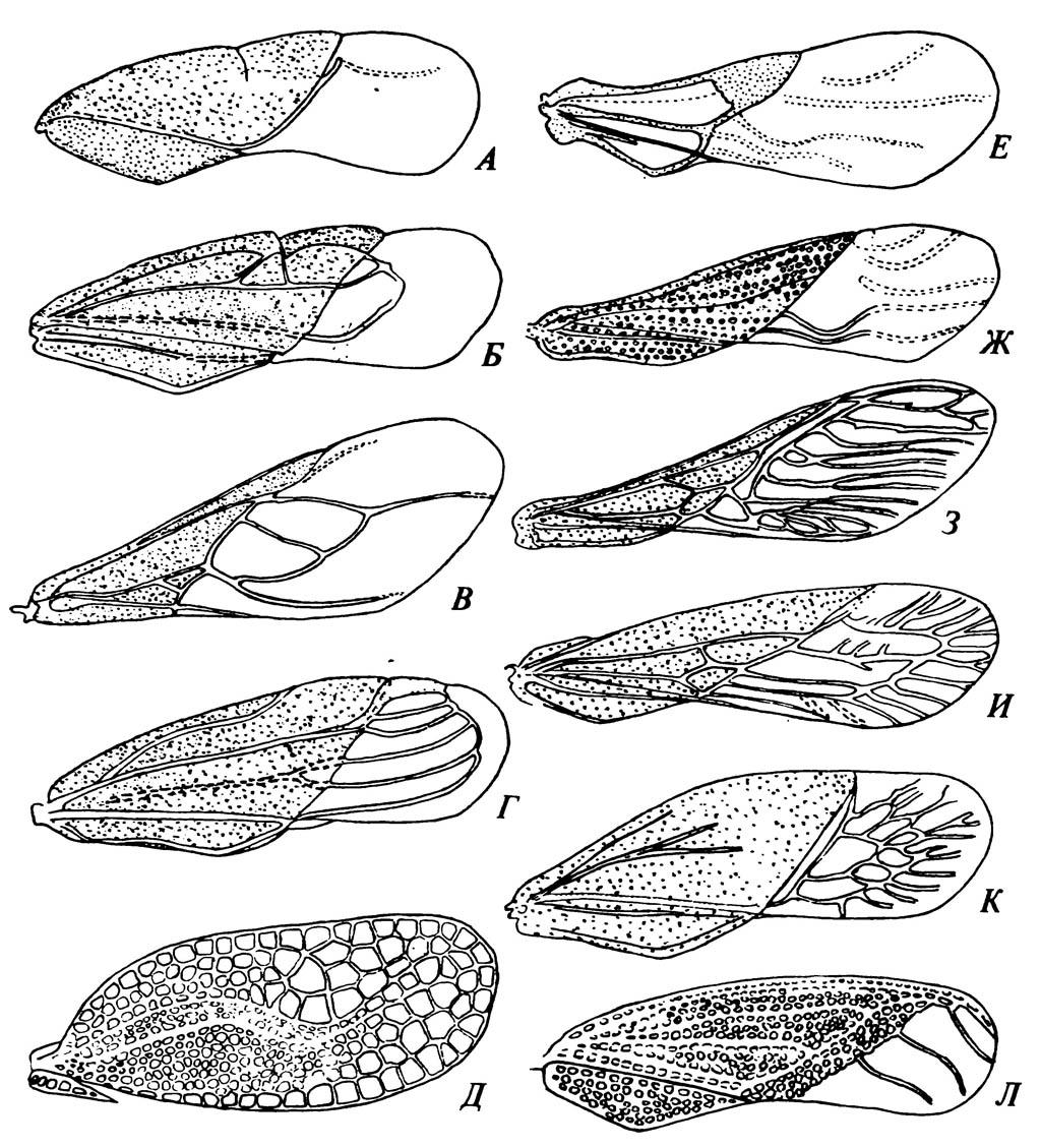 Надкрылья, или передние крылья Hemiptera