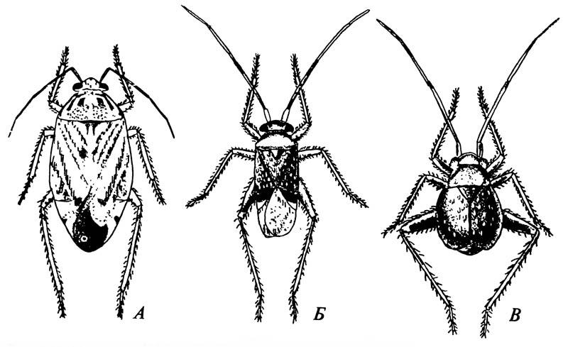 Слепняки Miridae