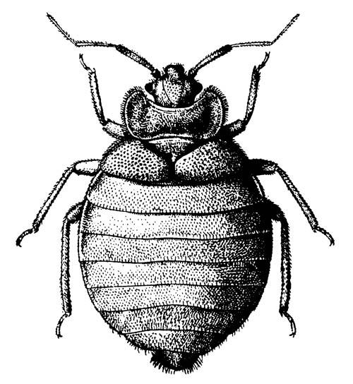 Обыкновенный постельный клоп Cimex lectularius