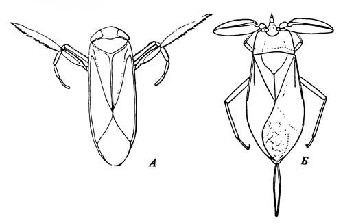 A. Arctocorixa (Corixidae), вид со спинной стороны. Б. Nepa (Nepidae), вид со спинной стороны
