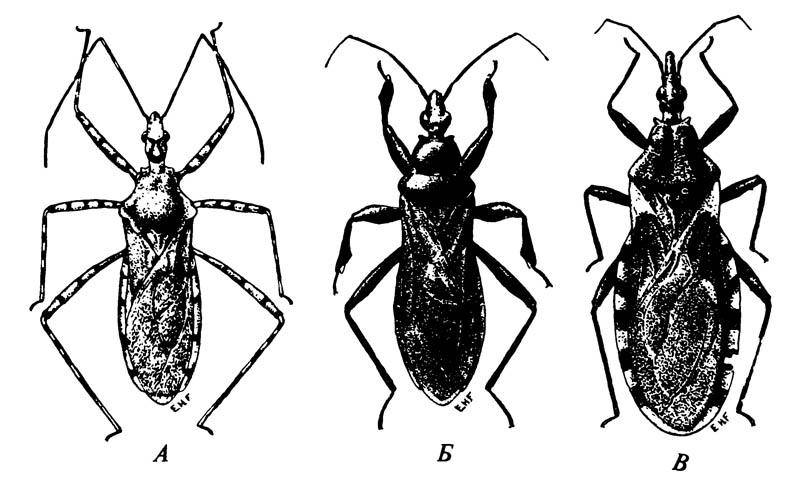 Три представителя семейства Reduviidae