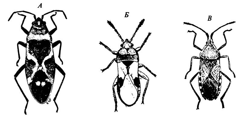А. Молочайный клоп Oncopeltus fasciatus