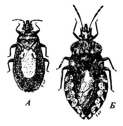 Подкорники Aradidae