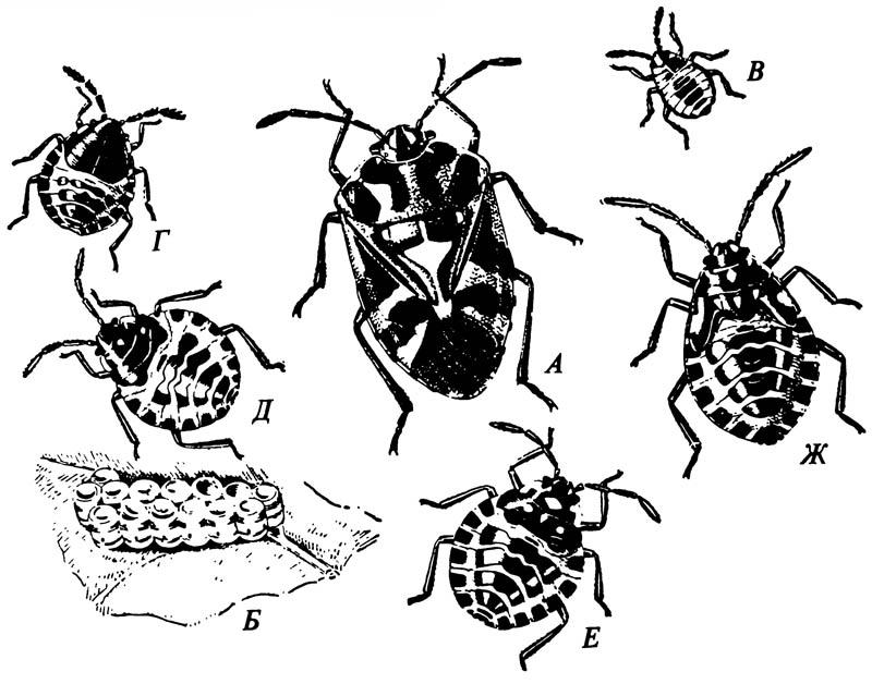 Щитники Pentatomidae