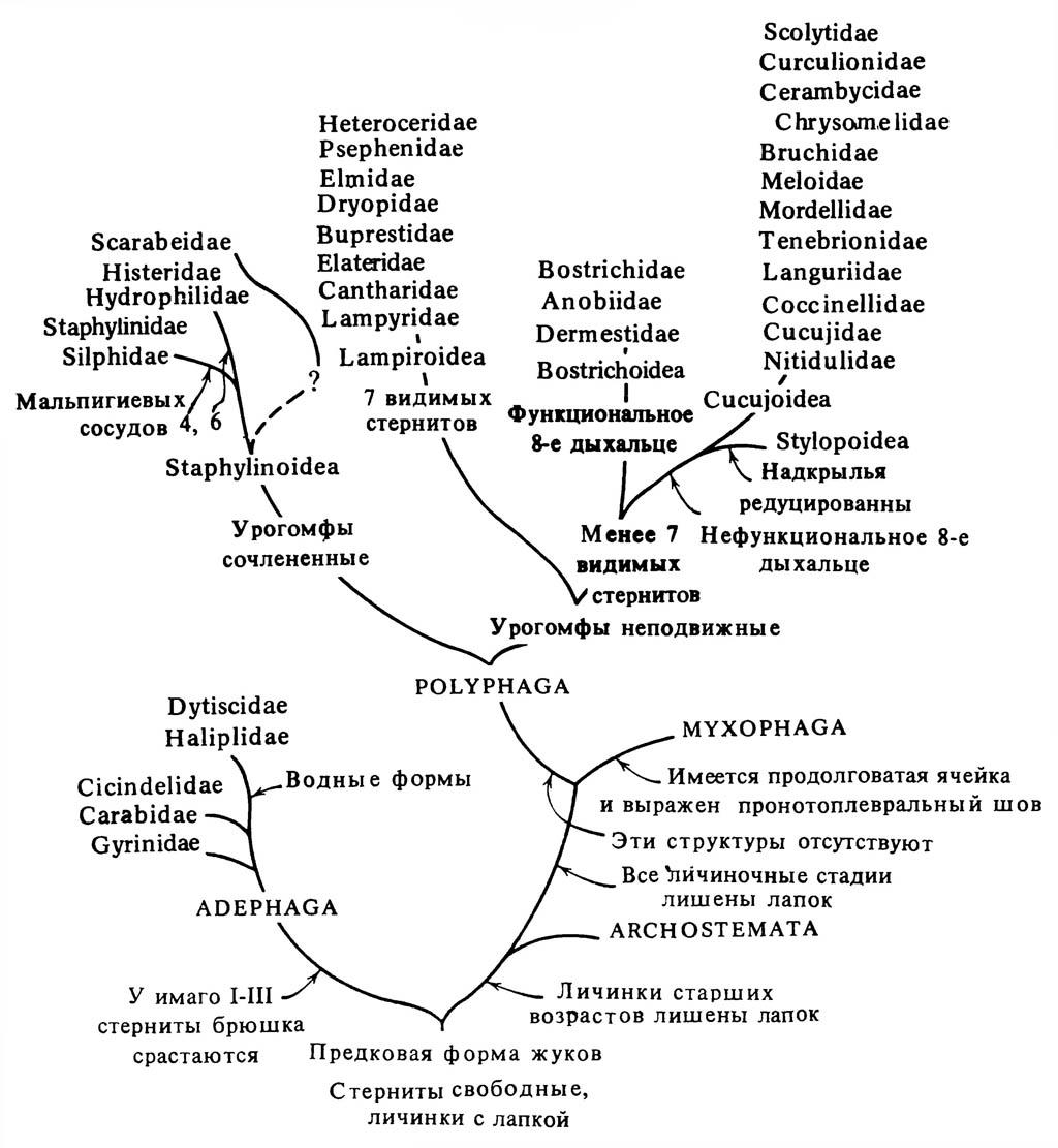 Упрощённая схема филогенеза отряда Coleoptera.