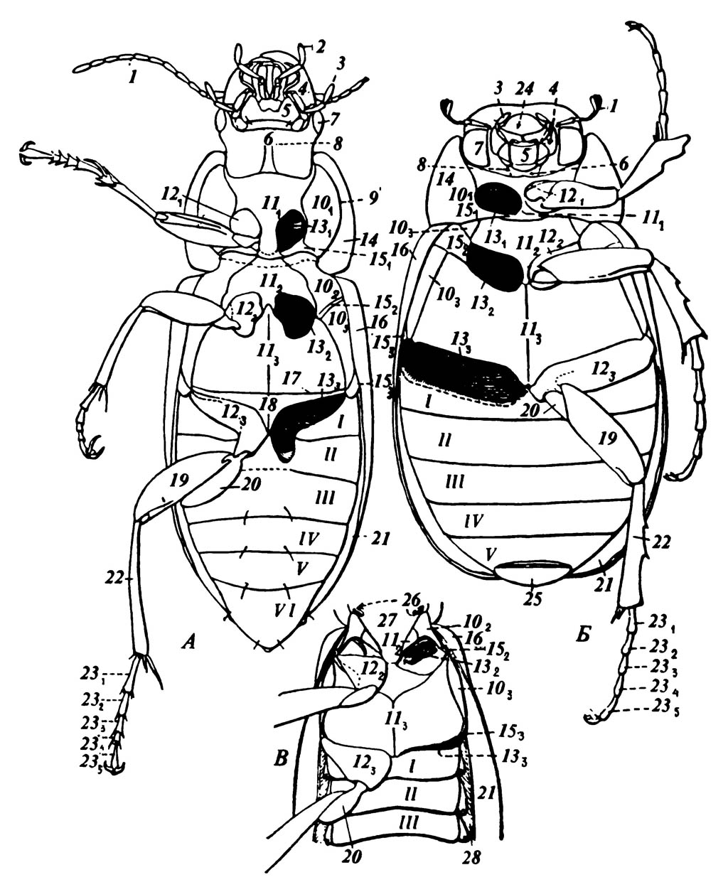 А. Жужелица Harpalus sp. (Carabidae)