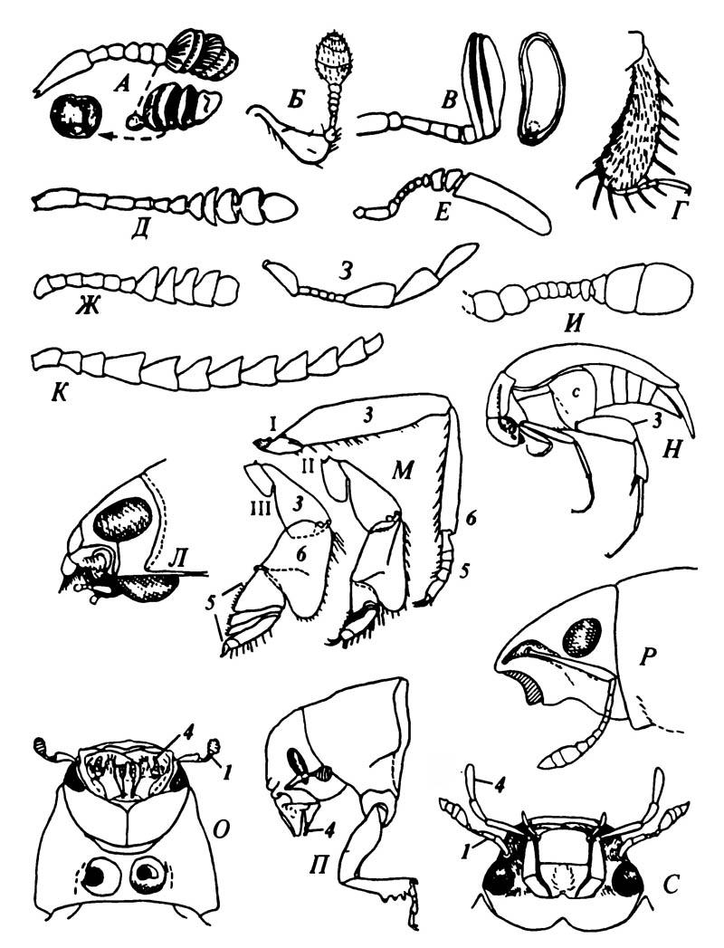 Отличительные признаки некоторых Coleoptera