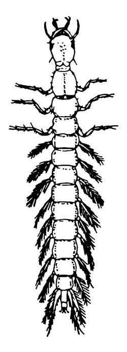 Личинка жука-вертячки