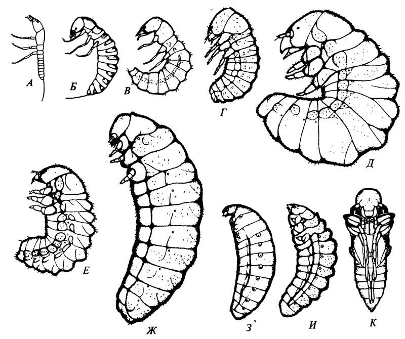 Преимагинальные стадии развития чёрного нарывника Epicauta pennsylvanica