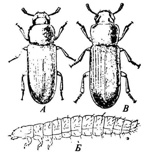 А. Малый булавоусый хрущак Tribolium castaneum